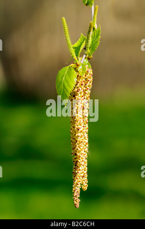 Male bloom of the Silver Birch (Betula pendula) - Stock Photo