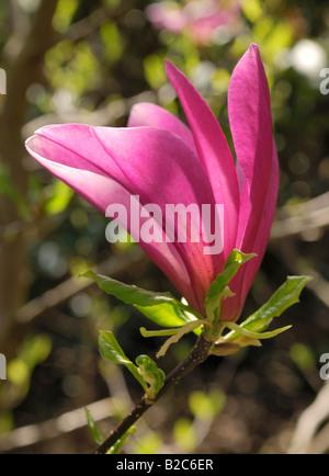 Lily Magnolia, Mulan Magnolia (Magnolia liliiflora) blossom opening, Botanischer Garten, Botanic Garden, Munich, - Stock Photo