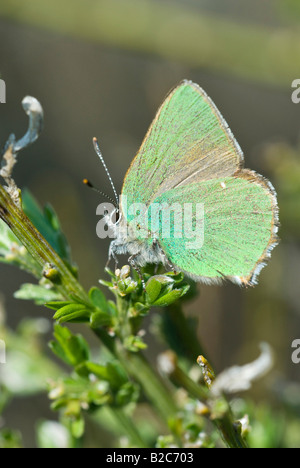 Green Hairstreak Butterfly (Callophrys rubi), Grasse, Alpes Maritimes, France, Europe - Stock Photo