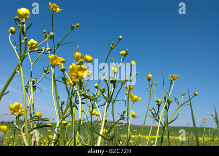 Meadow Buttercup or Tall Buttercup (Ranunculus acris) at spring - Stock Photo