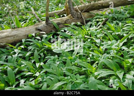 Ramsons, Wild Garlic (Allium ursinum) growing between two fallen trees - Stock Photo