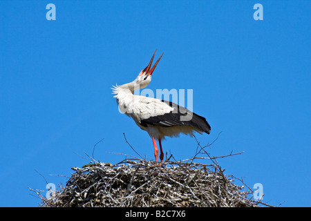 White Stork (Ciconia ciconia), Adebar, perched on its nest, chattering with its beak, Stork Village Bergenhusen - Stock Photo