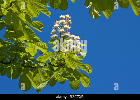 Horse-chestnut (Aesculus hippocastanum) blossoms and leaves sprouting in spring - Stock Photo