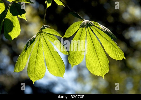 Horse-chestnut or Conker tree (Aesculus hippocastanum), tree with spring growth, backlit leaves, visible leaf veins - Stock Photo