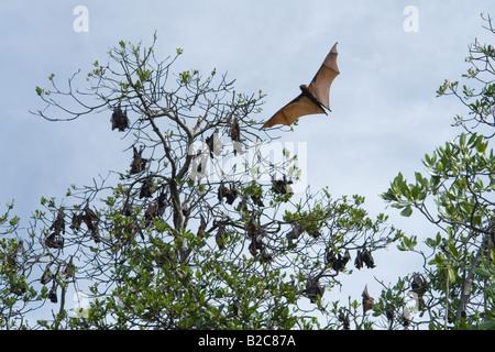 A colony of Flying Foxes in Ontoloe Island. Flores - Indonesia. La colonie de roussettes de l'île d'Ontoloe. Florès - Stock Photo