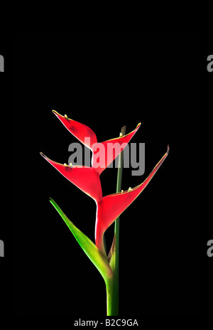red HELICONIA heliconie on black dark background lobster flower - Stock Photo