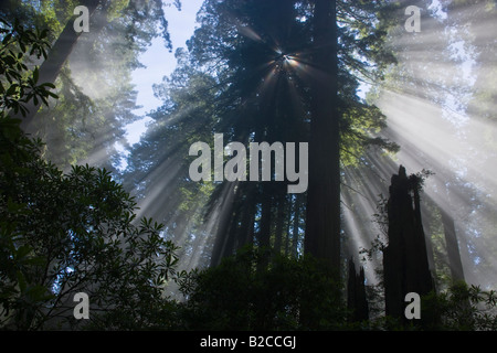 Sun rays filtering through foggy Redwood Forest. - Stock Photo