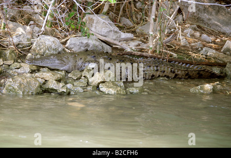American Crocodile Crocodylus acutus, Sumidero Canyon, Grijalva River, Chiapas State, Mexico - Stock Photo