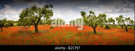 Poppyfield beneath almond trees near Huesca near Spanish Pyrenees - Stock Photo