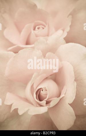 Pale pink roses. Rose Garden, Regent's Park, London, England, UK - Stock Photo