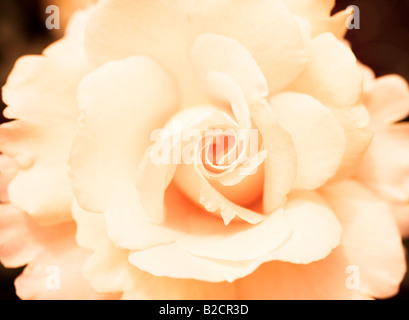Image of rose given antique photo effect. Rose Garden, Inner Circle, Regent's Park, London, England - Stock Photo
