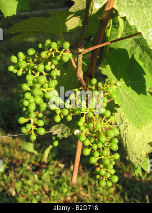 Young french grapes in Alsace - Wine road - route du vin - Stock Photo
