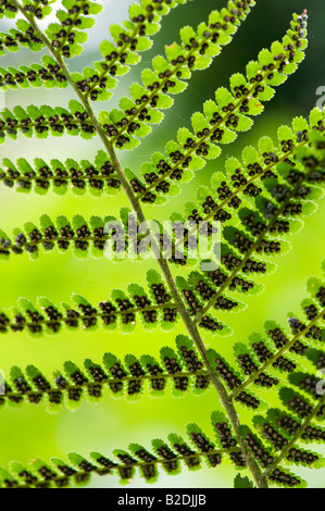 Dryopteris affinis. Golden shield fern  / Scaly male fern pattern - Stock Photo