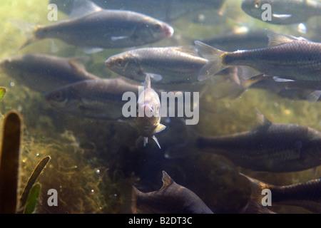 vairone Leuciscus souffia ciprinide pesce acqua dolce dulciacquaiolo ciprinidae pianura padana stagno fiume acqua - Stock Photo
