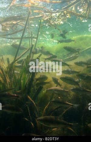 vairone Leuciscus souffia ciprinide pesce acqua dolce dulciacquaiolo ciprinidae pianura padana stagno acqua mossa - Stock Photo