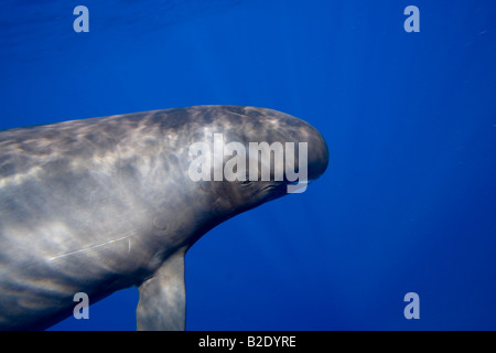Pygmy killer whale, Feresa attenuata, also known as the slender blackfish or the slender pilot whale, Hawaii. - Stock Photo
