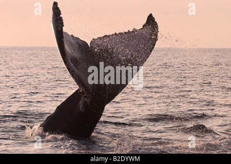 A humpback whale, Megaptera novaeangliae, lifts it's tail to a sunset sky,  Hawaii. - Stock Photo