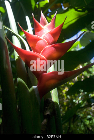 Red Heliconia flower in the jungles of St Lucia near the Pitons - Stock Photo