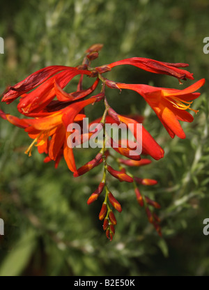 'Fiery orange montbretia in flower in the summer in East Sussex, England' - Stock Photo