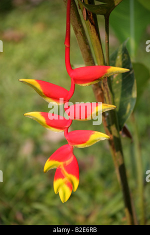 Heliconia rostrata aka Lobster Claw, Wild Plantain and False Bird of Paradise, Palenque, Chiapas State, Mexico - Stock Photo