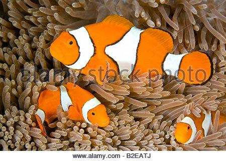 Three Anemonefish hiding in anemone underwater - Stock Photo