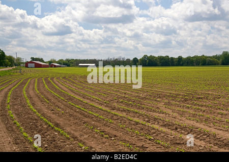Rows of seedling corn plants on a farm in Montcalm Michigan - Stock Photo