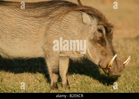 Portrait of a male warthog - Stock Photo