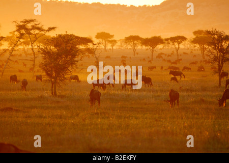 Large herds of Blue wildebeest grazing at sunset on the Serengeti - Stock Photo