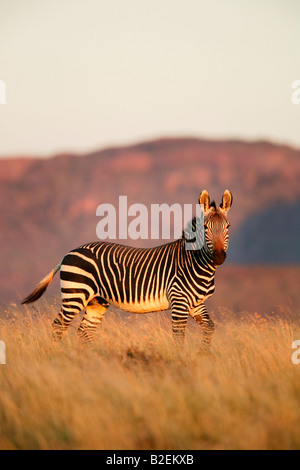 A Cape mountain zebra stallion in moody light - Stock Photo