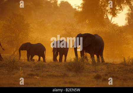 Sunset silhouette of herd of elephants in dust - Stock Photo