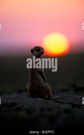 Sunset silhouette of Meerkat looking back over its shoulder - Stock Photo