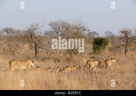 A pride of lions on the move led by two females followed by five cubs and another female - Stock Photo