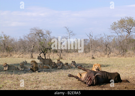 A male lion feeding on a buffalo carcass with the remainder of the pride lying in the shade in the background. - Stock Photo