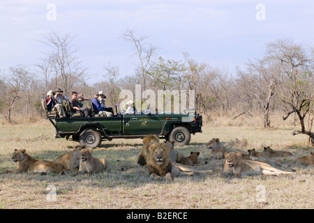 Tourists in open safari vehicle watching Lion pride resting in the shade - Stock Photo