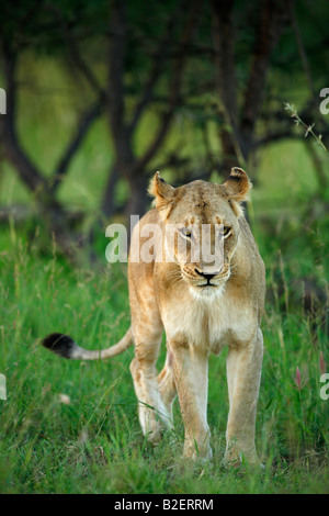 A lioness walking in lush green bushveld - Stock Photo