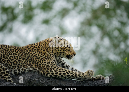 A female leopard stretching on a low branch as she rests after climbing a tree - Stock Photo
