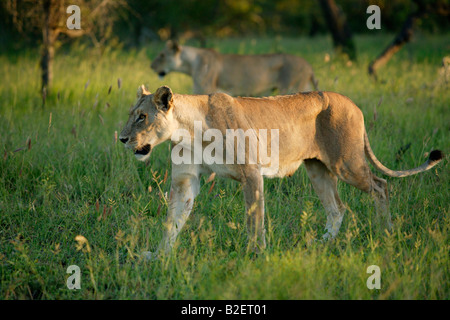 A pride of lions on the move - Stock Photo