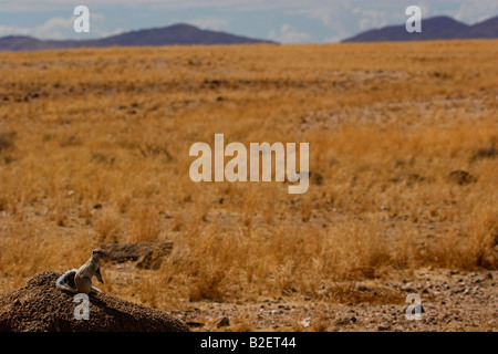Mountain ground squirrel sitting on a rock with an arid landscape of dry yellow grass in the background - Stock Photo