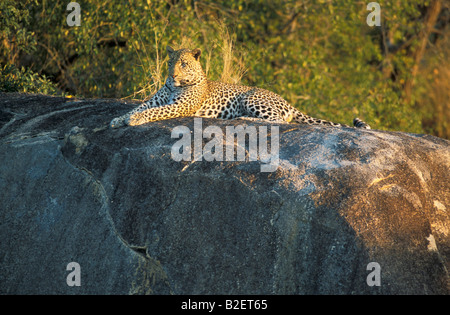 Male leopard resting on a large granite outcrop - Stock Photo