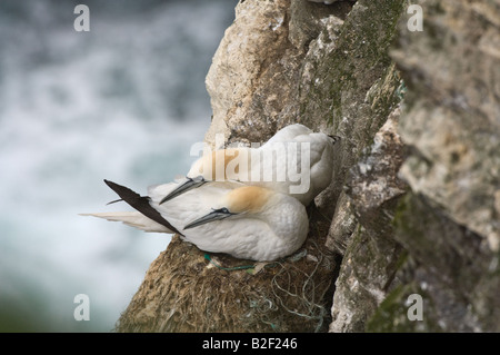 Northern Gannet (Morus bassanus) adult pair defending the nest against intruder Hermaness National Nature Reserve - Stock Photo