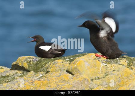 Black Guillemot Cepphus grylle pair on the cliff edge Mousa Shetland Islands Scotland UK Europe June - Stock Photo