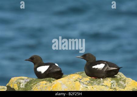 Black Guillemot Cepphus grylle pair resting on the cliff edge Mousa Shetland Islands Scotland UK Europe June - Stock Photo