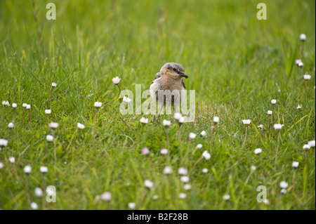 Northern Wheatear Oenanthe oenanthe adult female returning to nest with food Sumburgh Shetland Islands Scotland - Stock Photo