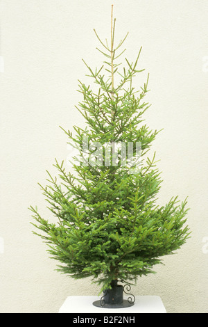 Norway Spruce, Common Spruce (Picea abies) as undecorated Christmas tree - Stock Photo