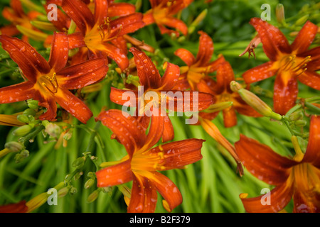 Blooming relaxing calm tranquil red orange perennial tiger lilies on sunny day in quiet New England field with dew - Stock Photo