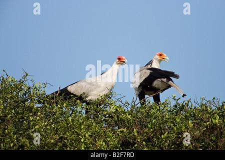 Secretary Bird (Sagittarius serpentarius) - Stock Photo