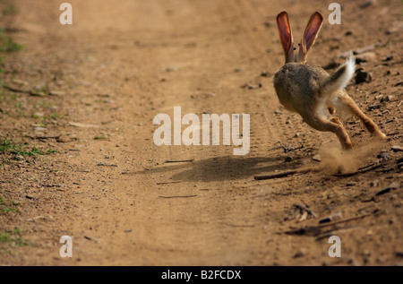 Black naped Jungle Hare in action, Ranthambhore forest, India. - Stock Photo