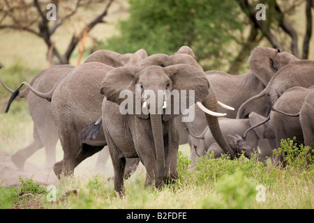Elephant herd protecting very young calf Loxodonta africana Serengeti Tanzania - Stock Photo