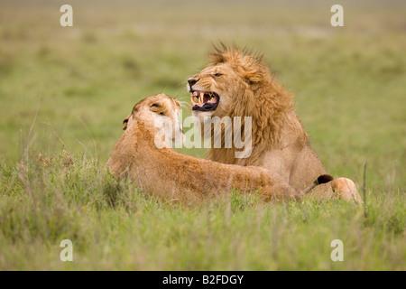 Courting Lion and lioness Panthera leo Ngorongoro Crater Tanzania - Stock Photo