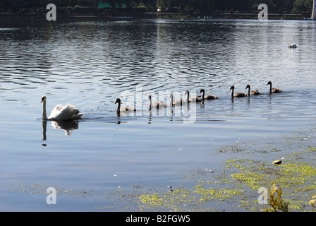 family of swans swimming in line on a lake - Stock Photo